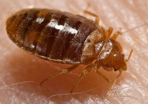 Bed_bug_Cimex_lectularius