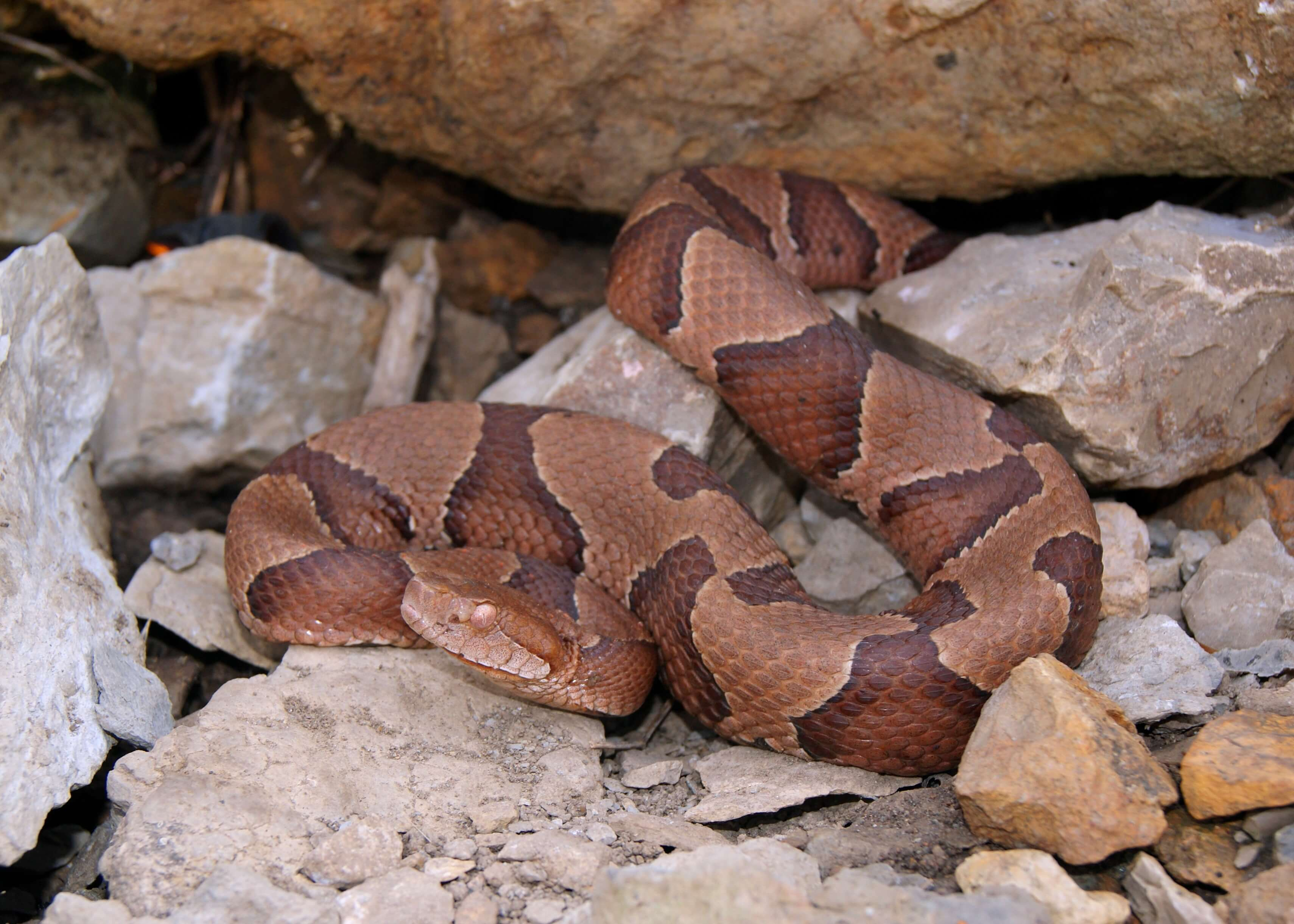 being aware of copperheads this august