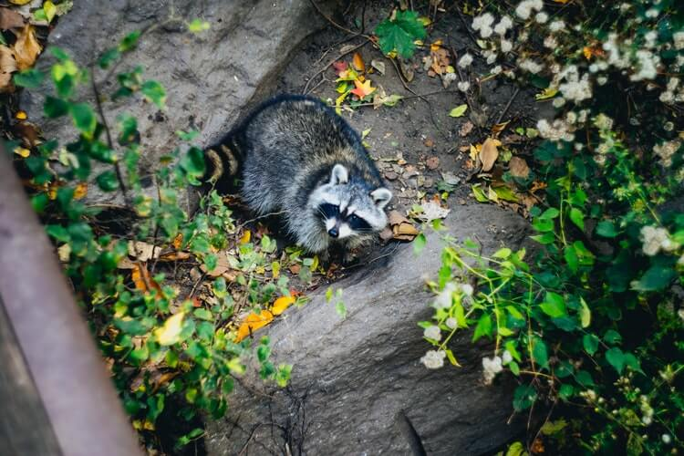 Raccoons in Your Home: Everything You Need to Know