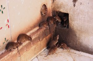 get-rid-of-rats-in-your-home
