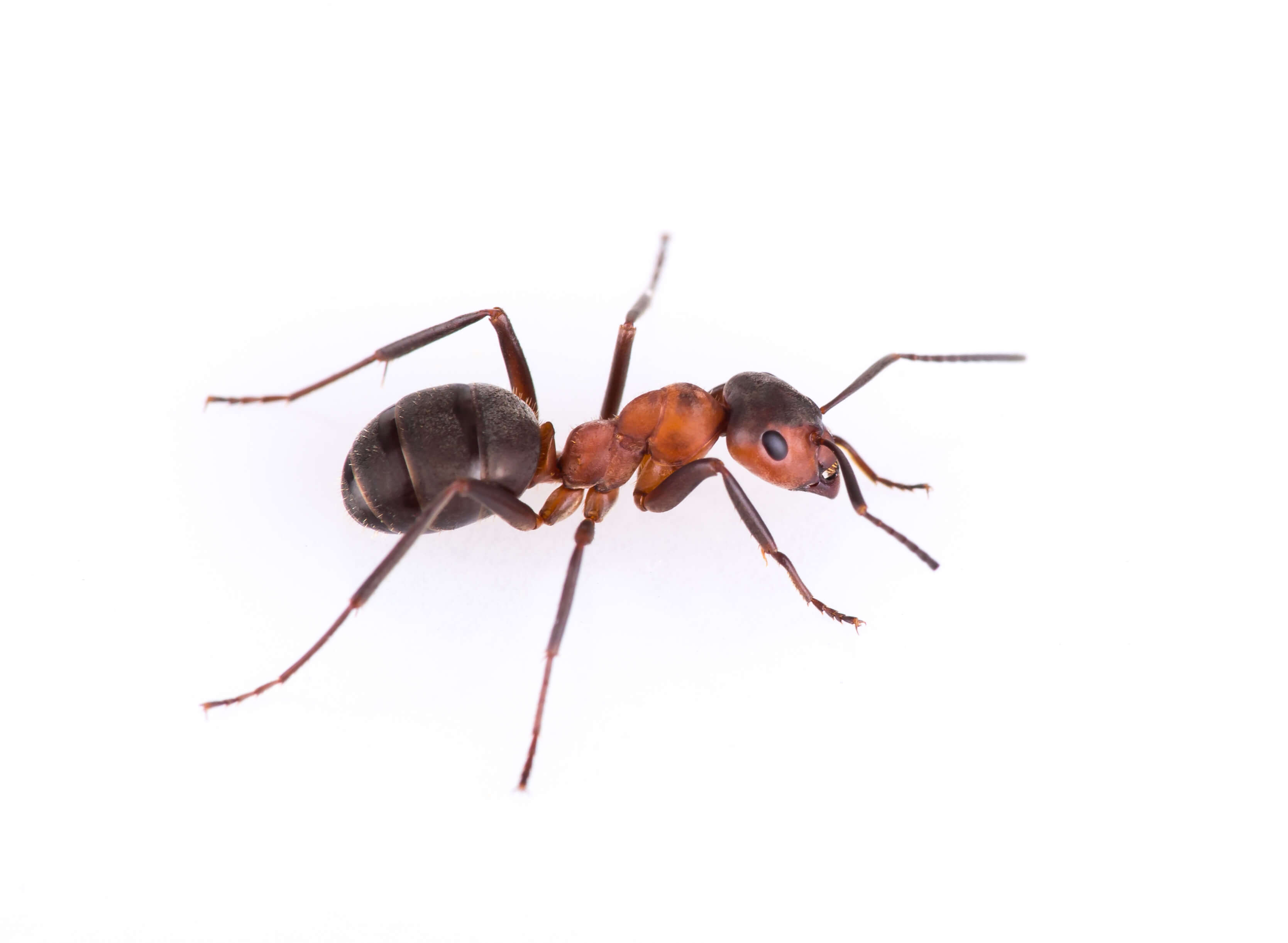 7 Secrets to Getting Rid of Ants this Summer   Bug House
