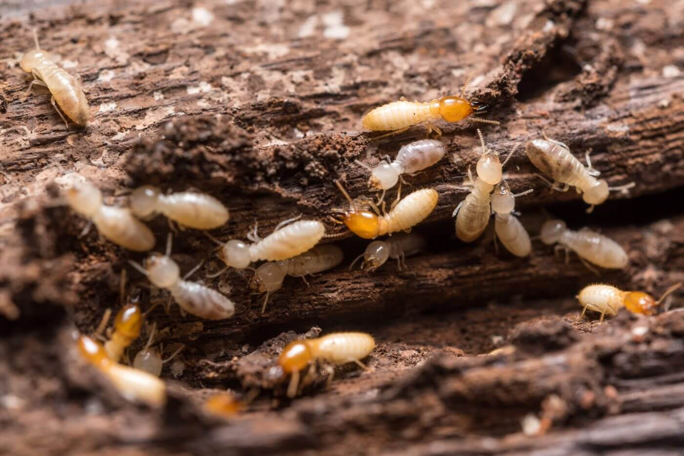 Termites eating away at wood