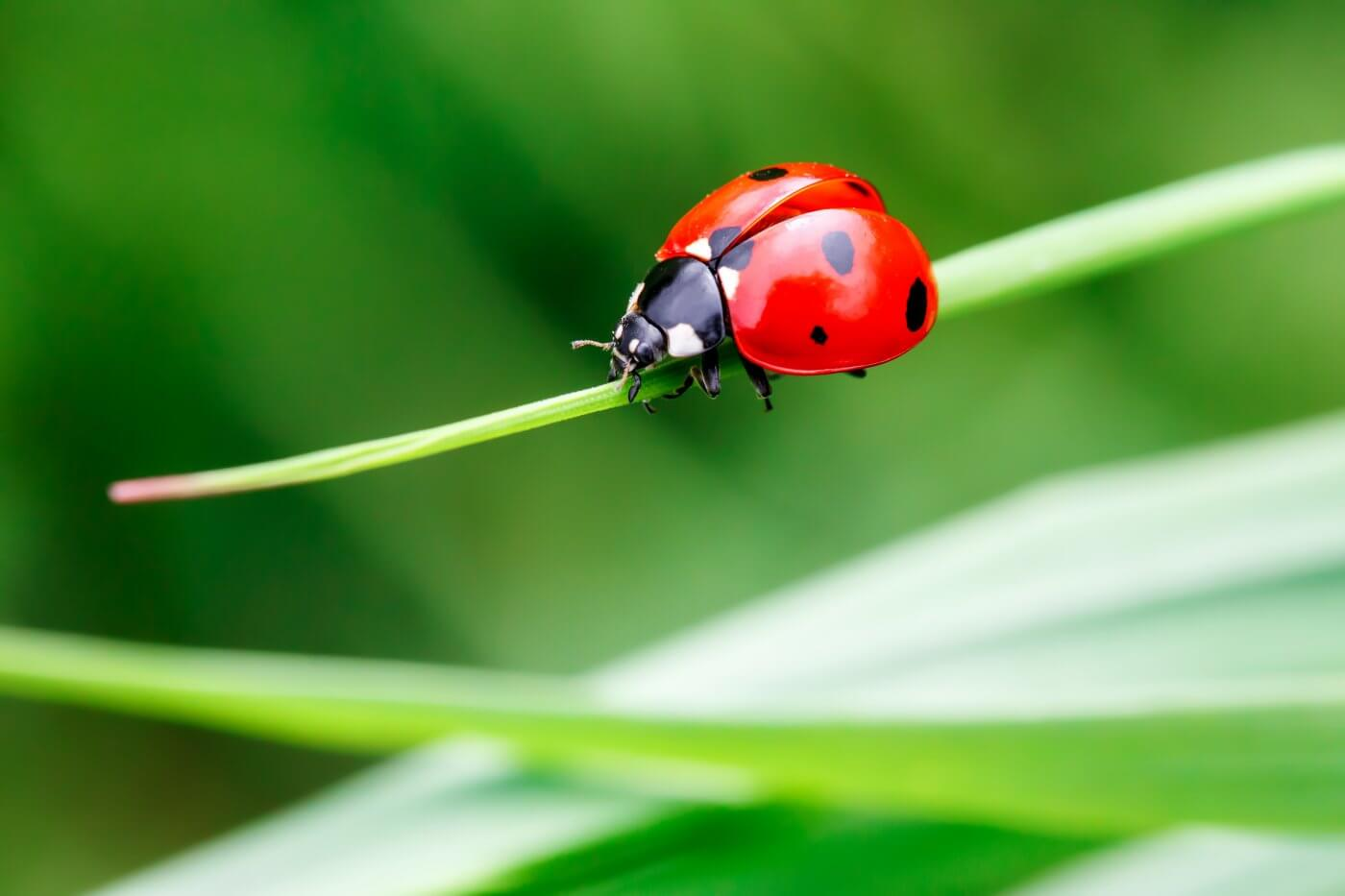 Ladybugs and Your Home: Everything You Need to Know