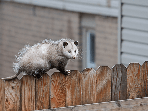 Opossum on a fence