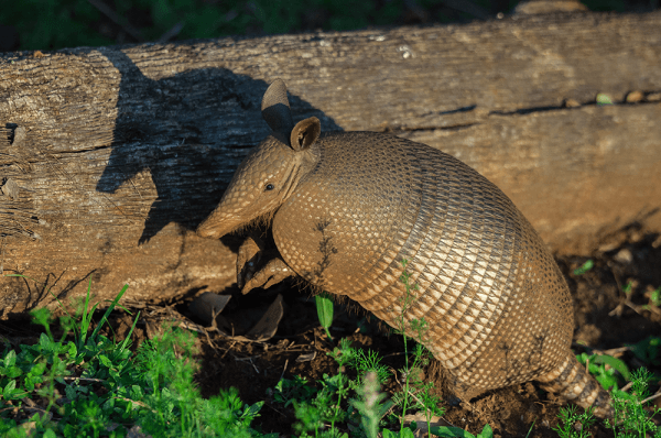armadillo on a log