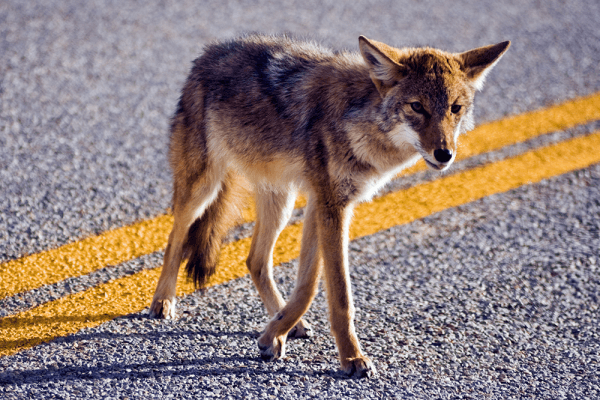 coyote in the road