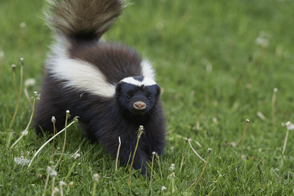 skunk in a field