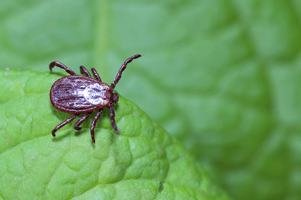 Everything You Need to Know About Ticks in Georgia
