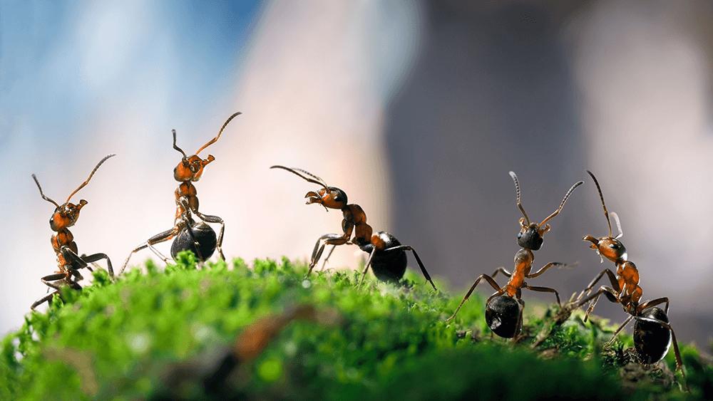 Do Ants Bite or Sting?
