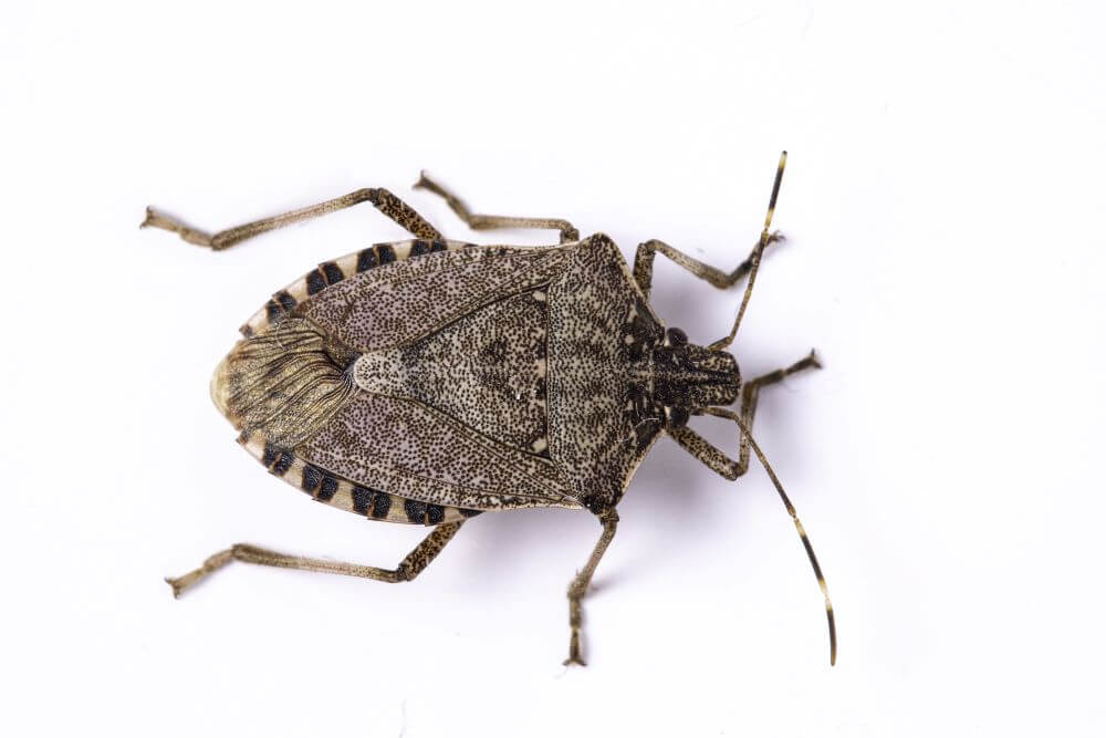 5 Tips for Getting Rid of Stink Bugs in Winter