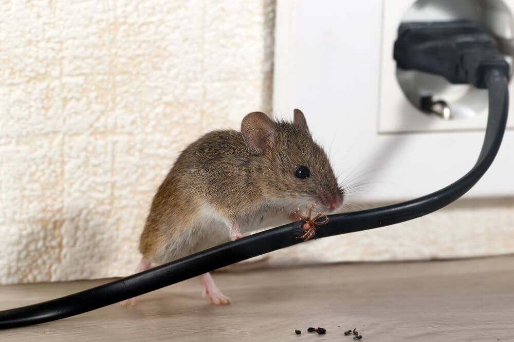 7 Types of Natural Mouse Repellent