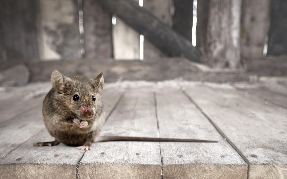 6 Ways to Get Rid of Mice