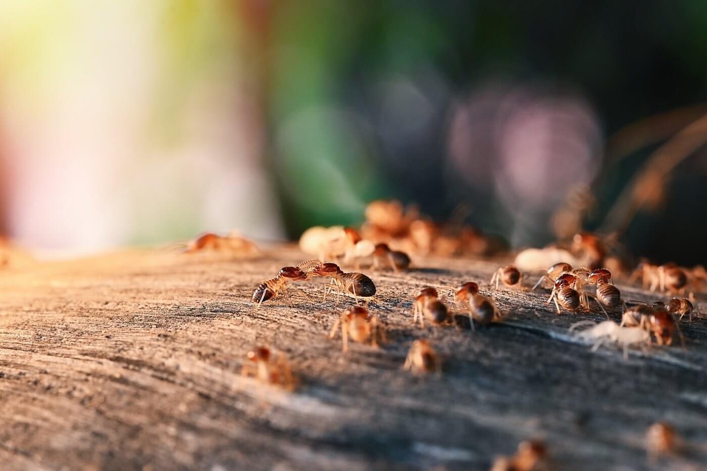 How Quickly do Termites do Damage?