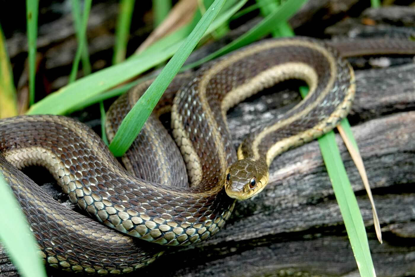 Should You Remove a Garter Snake?