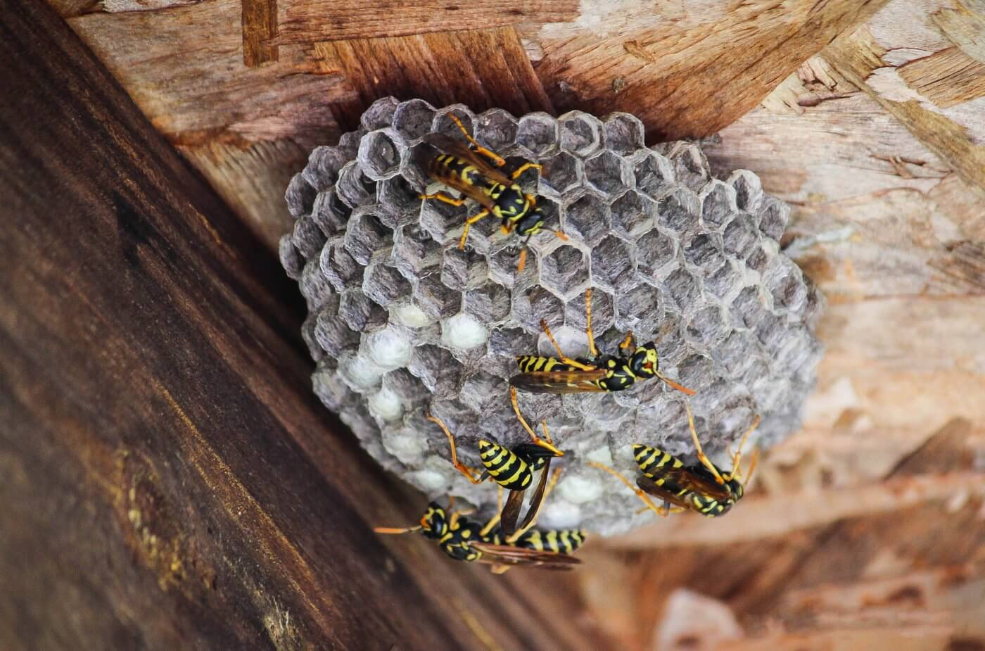 Tips for Getting Rid of Wasps