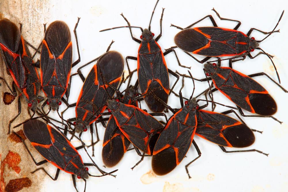 3 Ways to Get Rid of Boxelder Bugs