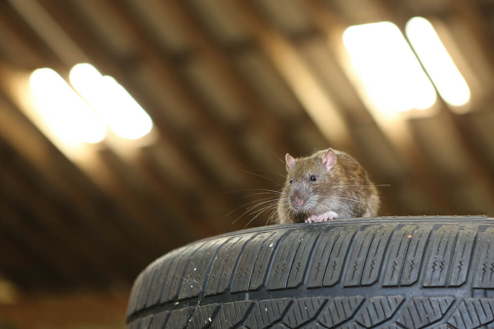 4 Tips for Rodent-proofing Your Garage